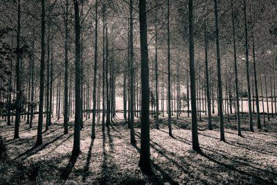 Poplar wood, Véloscénie, Orne, Normandy, France